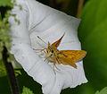 2014.07.15.-31-Presseler Teich--Rostfarbiger Dickkopffalter-Weibchen.jpg