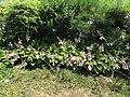 2015-07-20 12 23 03 Hosta flowering along Terrace Boulevard in Ewing, New Jersey.jpg