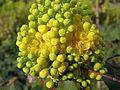 20150404Mahonia aquifolium3.jpg