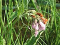 20160514Symphytum × uplandicum1.jpg