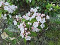 2017-05-17 18 59 05 Mountain Laurel blossoms near Look Rock on Chilhowee Mountain in Great Smoky Mountains National Park, within Blount County, Tennessee.jpg