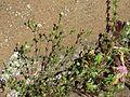 20170429Arenaria serpyllifolia.jpg