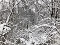 2018-03-21 12 56 59 Snow-covered trees and bushes in a swamp along a walking path in the Franklin Farm section of Oak Hill, Fairfax County, Virginia.jpg