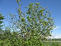 20180430Ulmus minor1.jpg