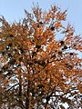 2020-11-07 16 48 31 View up into the canopy of a large Red Maple with multiple instances of Mistletoe in autumn along Elderberry Place in the Franklin Glen section of Chantilly, Fairfax County, Virginia.jpg