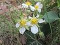 20200504Fragaria × ananassa2.jpg