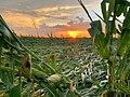 2020aug-derecho-corn-sunset-Adel-IA.jpg