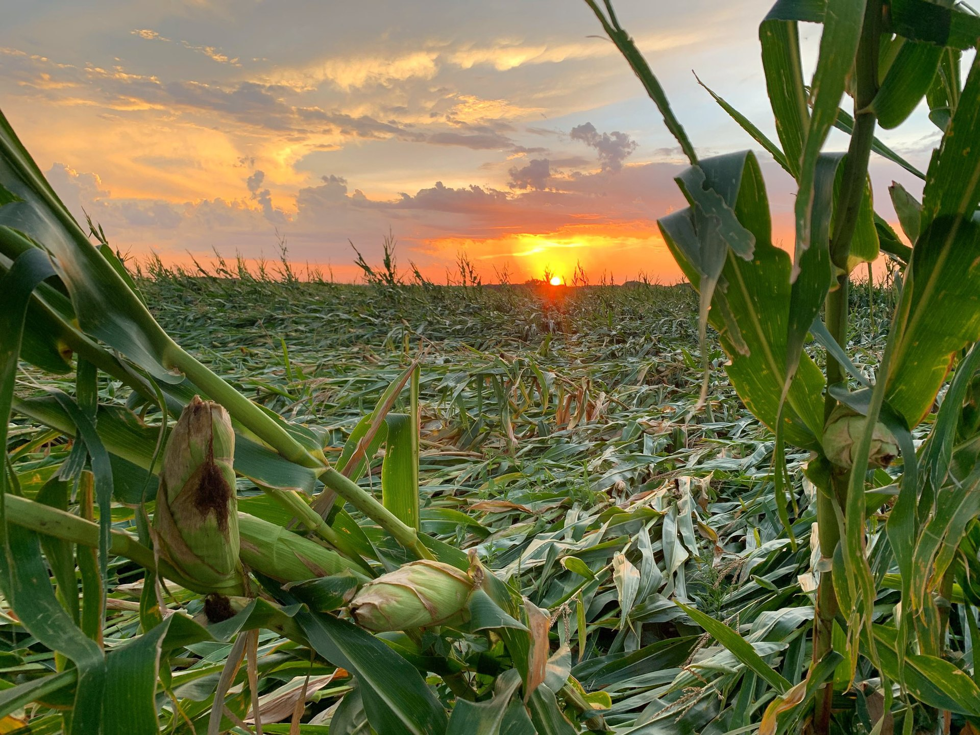 Farm field growing corn is shown, nearly all in sight has been flattened to the ground. Behind the flattened field, a sunset glows.