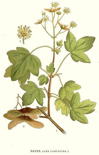 Acer campestre - Maple field illustration