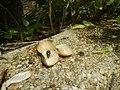 4217Foods Common houseflies Ants of the Philippines 05.jpg