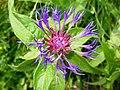 4890bricon - Mürren-Gimmelwald - Centaurea.JPG