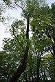 68-104-5074 Софора японська.jpg
