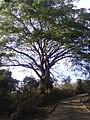 ARBOL DE CONACASTE - panoramio.jpg