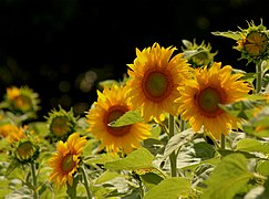 A Field of Sunshine (2162456862).jpg
