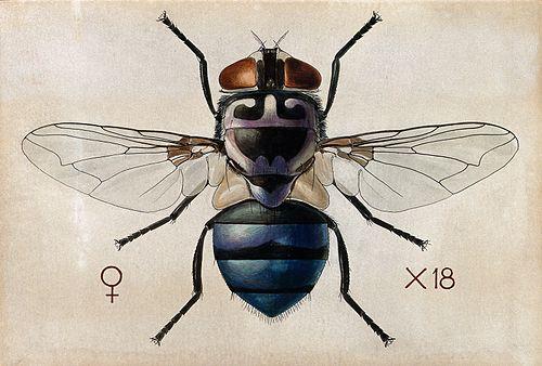 A blow fly (Chrysomya chloropyga). Coloured drawing by A.J.E Wellcome V0022553.jpg