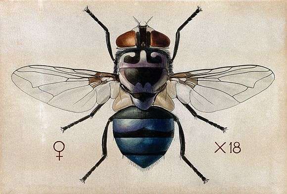 A blow fly (Chrysomya chloropyga). Coloured drawing by A.J.E Wellcome V0022553.jpg