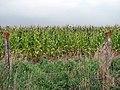 A crop of maize beside the Weavers Way - geograph.org.uk - 984085.jpg