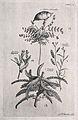 A fruiting stem of Colutea orientalis, a flowering Lunaria f Wellcome V0043029.jpg