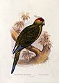 A ground parrakeet (Pezoporius species). Colour lithograph, Wellcome V0022172EL.jpg