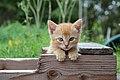 A posing kitten (Flickr).jpg