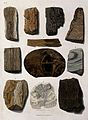 A variety of fossilised madrepores and other organic remains Wellcome V0023183EL.jpg