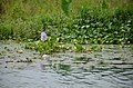 A water lily in bloom (35945810021).jpg