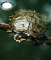 A water turtle is sleeping on a branch,in the water.jpg