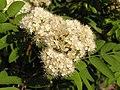 Ab plant 1716.jpg