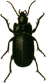 Abax carinatus Jacobson.png
