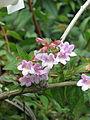 Abelia schumannii (19479285901).jpg