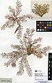 Abietinaria abietina (MNHN-IK-2014-1828).jpeg