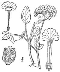 Abronia fragrans drawing
