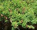 Acacia ataxacantha, loof en peule, Springbok Park.jpg