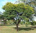 Acacia karroo, habitus, Jimmy Aves Park, c.jpg