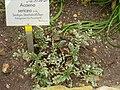 Acaena sericea - Berlin Botanical Garden - IMG 8765.JPG