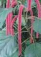 Acalypha hispida, the Chenille Plant - Flickr - Dick Culbert.jpg
