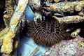 Acanthaster planci (26226798354).jpg