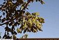 Acer barbatum 8zz.jpg