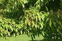Acer mandshuricum foliage