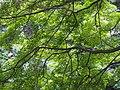 Acer palmatum Klon palmowy 2018-06-10 04.jpg