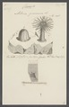 Actinia gemmacea - - Print - Iconographia Zoologica - Special Collections University of Amsterdam - UBAINV0274 109 05 0044.tif