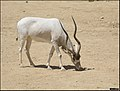 Addax-Jerusalem-Biblical-Zoo-IZE-486zoom.jpg