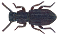 Adelostoma sulcatum Duponchel 1827 (25895886643).png