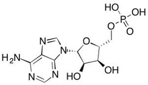 Fructose 1,6-bisphosphatase - AMP