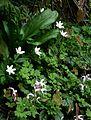 Adoxa moschatellina ^ Epimedium leptorrhizum - Flickr - peganum.jpg
