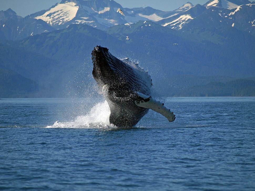 Adult Humpback Whale breaching