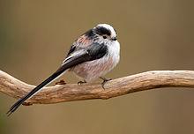 Aegithalos caudatus vogelartinfo chris romeiks R7F2607.jpg