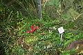 Aeschynanthus pulcher (Aeschynanthus lobbianus) - Botanischer Garten, Dresden, Germany - DSC08622.JPG