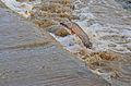 African Catfish (Clarias gariepinus) jumping like a salmon to gain the upper Mlondozi River ... (15897999594).jpg