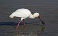 African Spoonbill, Platalea alba, at Pilanesberg National Park, Northwest Province, South Africa (28123123344).jpg